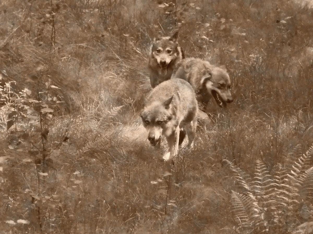 Fotowettbewerb Nationalpark Bayer. Wald_2 Platz mit schnürenden Wölfen
